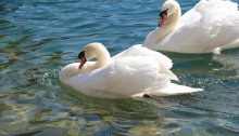 Swans on our Rhine River cruise--photographed in 2014